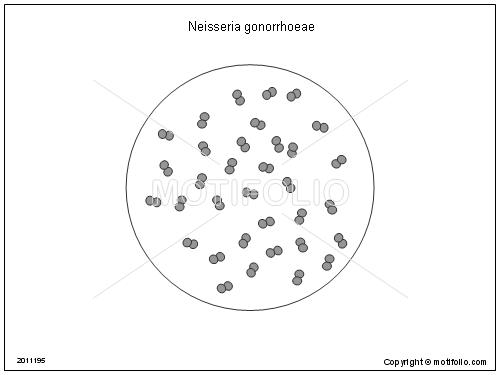 http://site.motifolio.com/images/Neisseria-gonorrhoeae-1021195.png