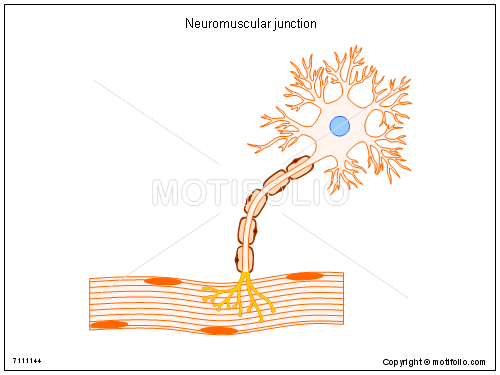 Neuromuscular junction, PPT PowerPoint drawing diagrams, templates, images, slides
