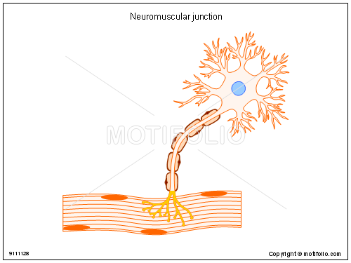 Neuromuscular junction, PPT PowerPoint drawing diagrams, templates ...