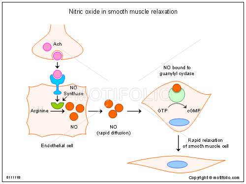 nitric oxide in smooth muscle relaxation ppt powerpoint drawing, Muscles
