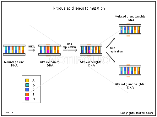Nitrous acid leads to mutation, PPT PowerPoint drawing diagrams, templates, images, slides