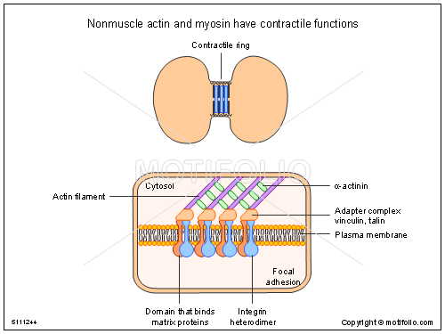 Nonmuscle actin and myosin have contractile functions, PPT PowerPoint drawing diagrams, templates, images, slides