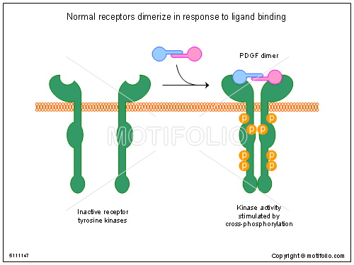 Normal receptors dimerize in response to ligand binding PPT ...