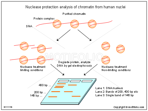 nuclease protection analysis of chromatin from human nuclei ppt  : chromatin diagram - findchart.co