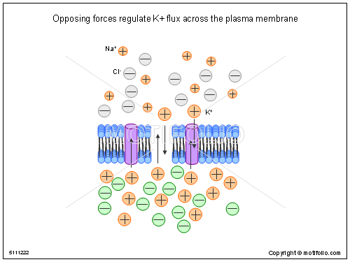 Opposing forces regulate K flux across the plasma membrane, PPT PowerPoint drawing diagrams, templates, images, slides