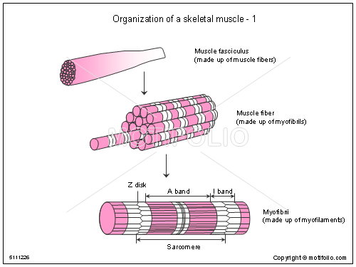 Organization Of A Skeletal Muscle 1 Illustrations