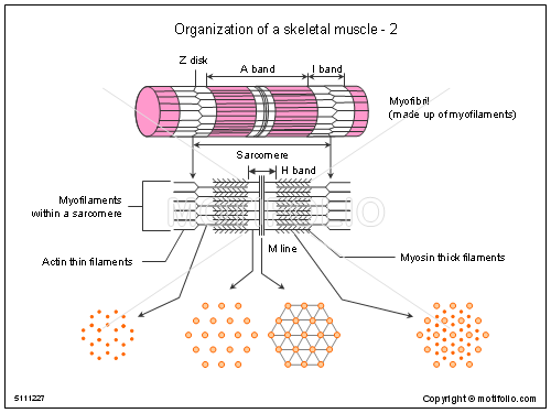 organization of a skeletal muscle-2 ppt powerpoint drawing, Muscles