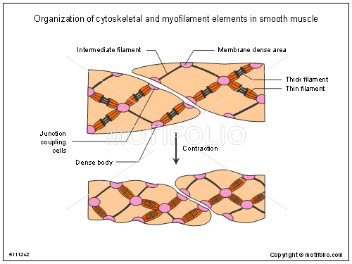 organization of cytoskeletal and myofilament elements in smooth, Muscles