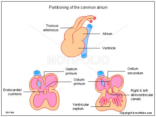 Atrium - Biology-Online Dictionary