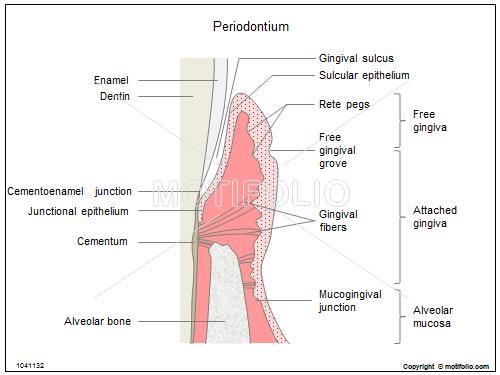 Periodontium Illustrations