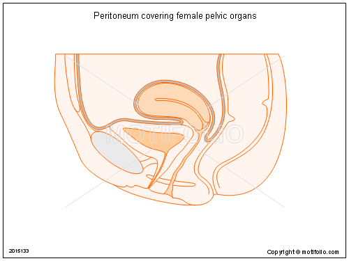 Peritoneum Covering Female Pelvic Organs Illustrations