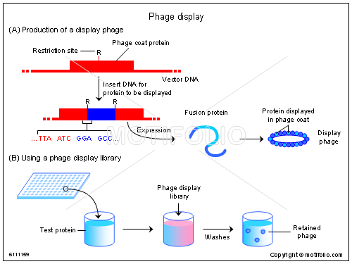 Phage display, PPT PowerPoint drawing diagrams, templates, images, slides
