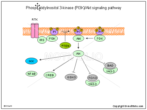 Phosphatidylinositol 3-kinase PI3K-Akt signaling pathway, PPT PowerPoint drawing diagrams, templates, images, slides