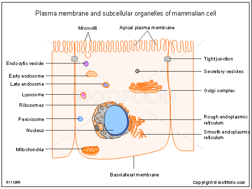 organelle and plasma membrane All prokaryote and eukaryote cells have plasma membranes the plasma membrane (also known as the cell membrane) is the outermost cell surface, which separates the cell from the external environment the plasma membrane is composed primarily of proteins and lipids, especially phospholipids the .