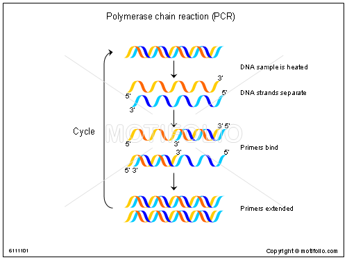 polymerase chain reaction pcr ppt powerpoint drawing diagrams  : pcr diagram - findchart.co