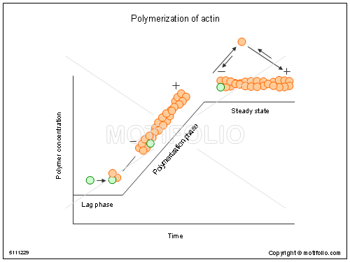 Polymerization of actin, PPT PowerPoint drawing diagrams, templates, images, slides
