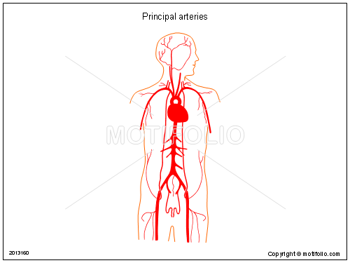 Principal arteries, PPT PowerPoint drawing diagrams, templates, images, slides