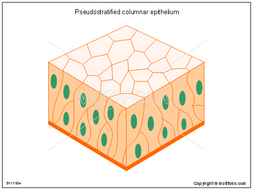 Pseudostratified columnar epithelium, PPT PowerPoint drawing diagrams, templates, images, slides