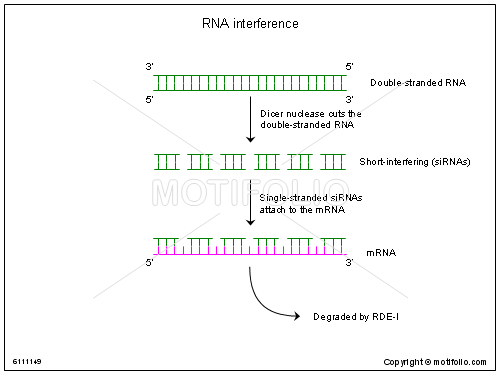 RNA interference, PPT PowerPoint drawing diagrams, templates, images, slides