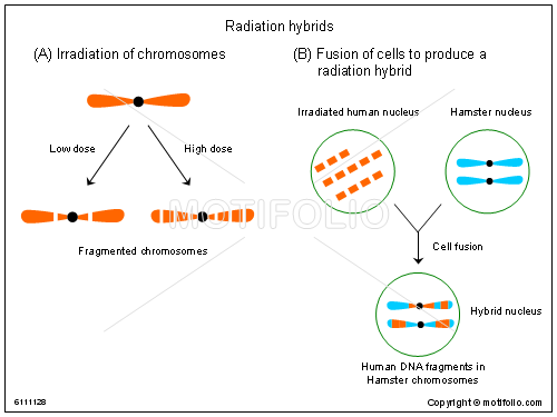 Radiation hybrids Illustrations