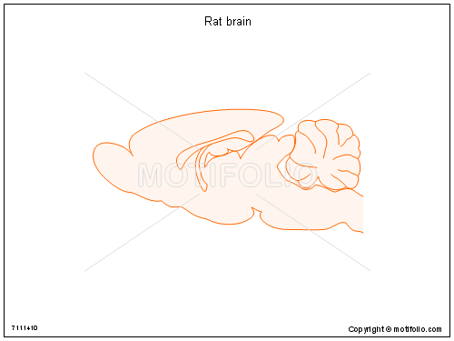 Rat brain PPT PowerPoint drawing diagrams, templates, images, slides