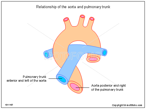 relationship of the aorta and pulmonary trunk ppt powerpoint, Human Body