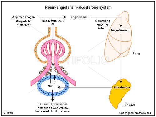 Renin angiotensin aldosterone system illustrations ccuart Images