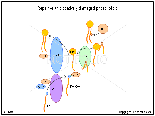 Repair of an oxidatively damaged phospholipid, PPT PowerPoint drawing diagrams, templates, images, slides