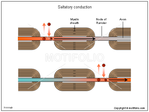 Saltatory conduction, PPT PowerPoint drawing diagrams, templates, images, slides