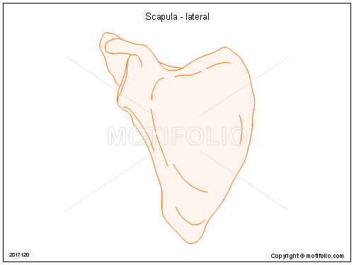 Scapula - lateral, PPT PowerPoint drawing diagrams, templates, images, slides