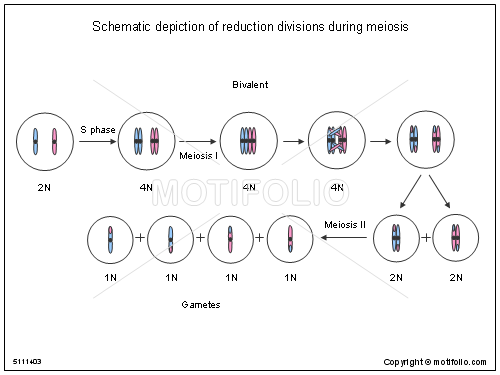 Schematic Depiction Of Reduction Divisions During Meiosis Illustrations
