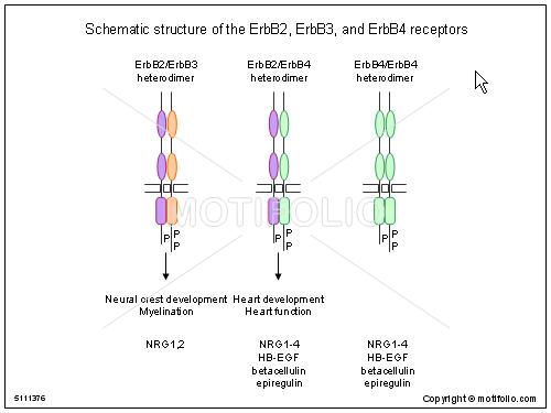 schematic structure of the erbb erbb and erbb receptors ppt, schematic