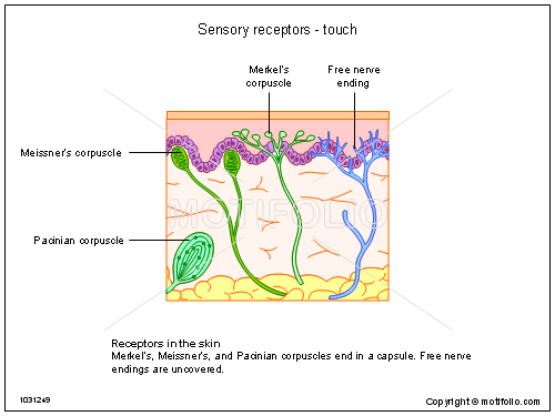 Sensory receptors - touch PPT PowerPoint drawing diagrams ...