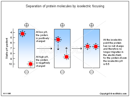Separation of protein molecules by isoelectric focusing, PPT PowerPoint drawing diagrams, templates, images, slides