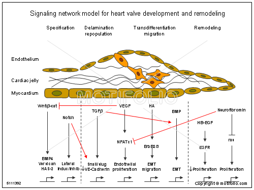 Signaling network model for heart valve development and remodeling keywords signaling network model for heart valve development and remodeling illustrationfiguredrawingdiagramimage ccuart Image collections