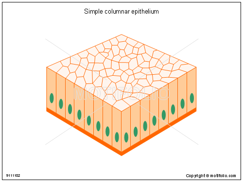 Simple columnar epithelium, PPT PowerPoint drawing diagrams, templates, images, slides