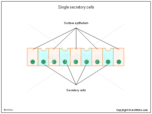 Single secretory cells, PPT PowerPoint drawing diagrams, templates, images, slides