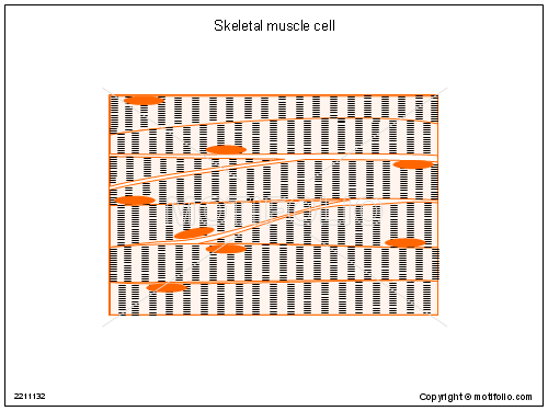 Skeletal muscle cell, PPT PowerPoint drawing diagrams, templates, images, slides