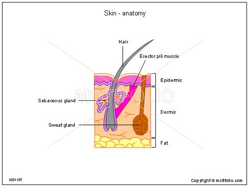 Skin Anatomy Illustrations