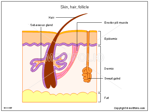 skin and hair follicle They position themselves at the openings on the skin's surface through which  hair grows (follicles) each hair grows from a single follicle the process of hair.