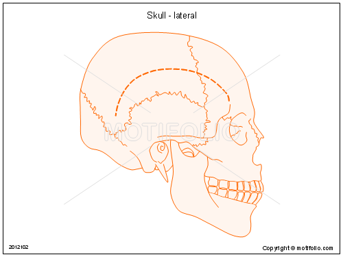 Skull - lateral, PPT PowerPoint drawing diagrams, templates, images, slides