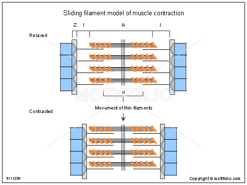 PPT - Muscle Contraction and the Sliding Filament Theory ...