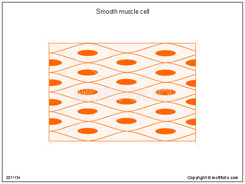 Smooth muscle cell, PPT PowerPoint drawing diagrams, templates, images, slides