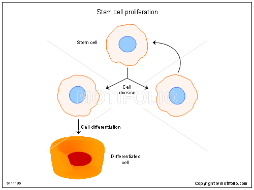 Stem cell proliferation illustrations stem ccuart Gallery