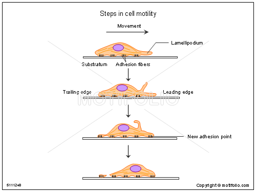 Steps in cell motility, PPT PowerPoint drawing diagrams, templates, images, slides