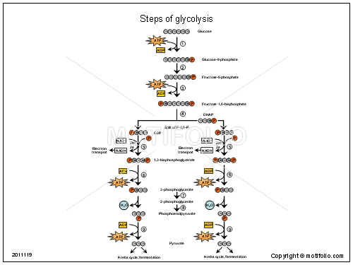 Steps of glycolysis, PPT PowerPoint drawing diagrams, templates, images, slides