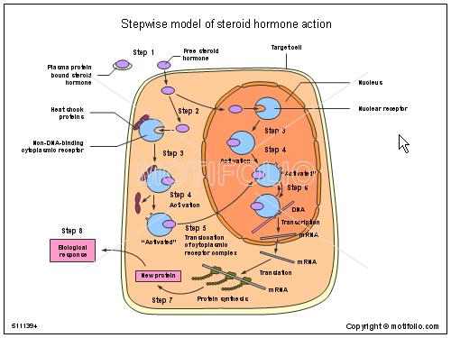steroid hormones ppt presentation
