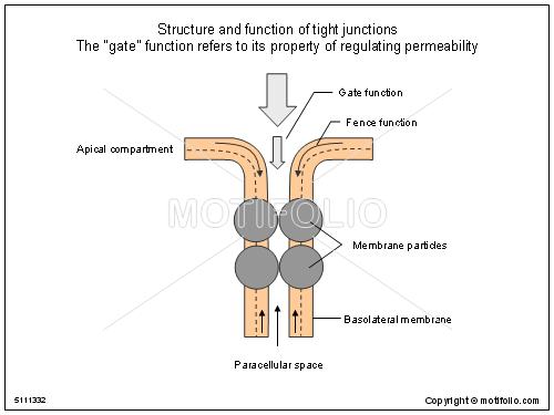 gap junction diagram - photo #38