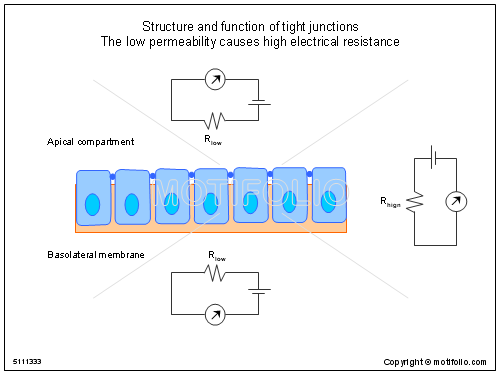 structure and function of tight junctions the low permeability, electrical drawing