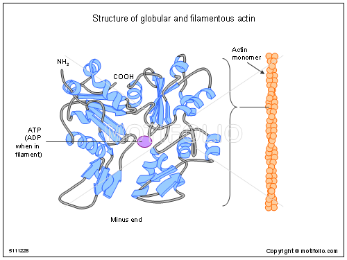 Structure of globular and filamentous actin, PPT PowerPoint drawing diagrams, templates, images, slides